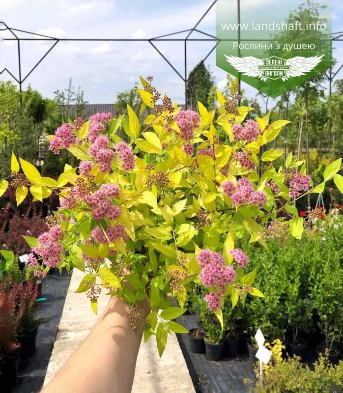 Spiraea japonica 'Goldmound', Спірея японська 'Голдмаунд',P7-Р9 - горщик 9х9х9