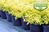 Spiraea japonica 'Goldmound', Спірея японська 'Голдмаунд',P7-Р9 - горщик 9х9х9, фото 2