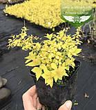 Spiraea japonica 'Goldmound', Спірея японська 'Голдмаунд',P7-Р9 - горщик 9х9х9, фото 3