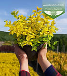 Spiraea japonica 'Goldmound', Спірея японська 'Голдмаунд',P7-Р9 - горщик 9х9х9, фото 4
