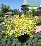Spiraea japonica 'Goldmound', Спірея японська 'Голдмаунд',P7-Р9 - горщик 9х9х9, фото 6