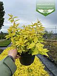 Spiraea japonica 'Goldmound', Спірея японська 'Голдмаунд',P7-Р9 - горщик 9х9х9, фото 9