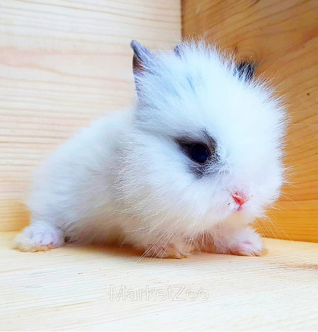 """Карликовый торчеухий кролик,порода """"Львиная голова"""",окрас """"Белый с серой окантовкой"""",возраст 1,5мес.,девочка"""