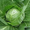 ЛЕГАТ F1 - семена капусты белокочанной, CLAUSE 1000 семян