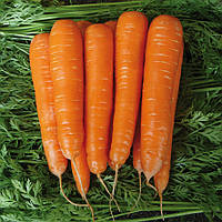 МАТЧ F1 - семена моркови, CLAUSE 25 000 семян