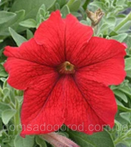 Петунія grandiflora F1 ВІРТУОЗ Red Kitano 500 шт