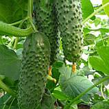 Семена огурца Аристан F1 (250 сем.) Bejo, фото 2