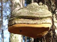Чага  (берёзовый гриб),  50 г