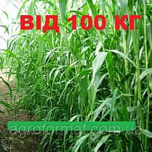 Семена суданки Белявка (Білявка) от 100 кг