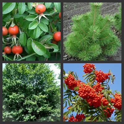 Саженцы лиственно - хвойных растений
