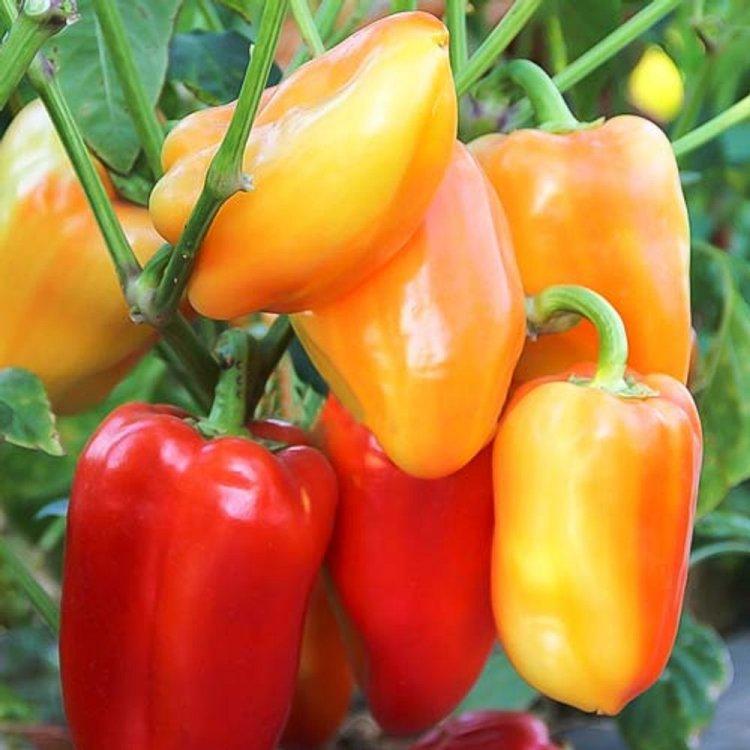 Барбі F1 насіння перцю солодкого (Syngenta)