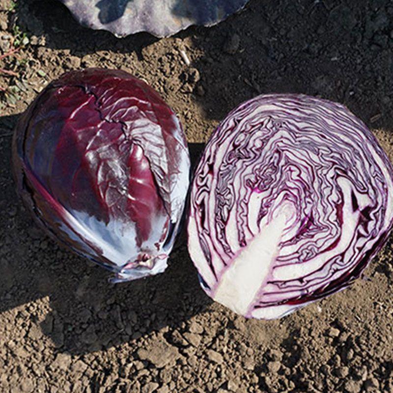 Реск'ю F1 насіння капусти червоноголової (Syngenta)