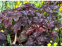 ГЕЙХЕРА(Heuchera ) micrantha Palace Purple