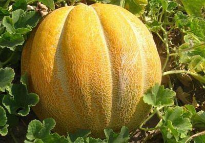Семена Дыня сорта Эфиопка