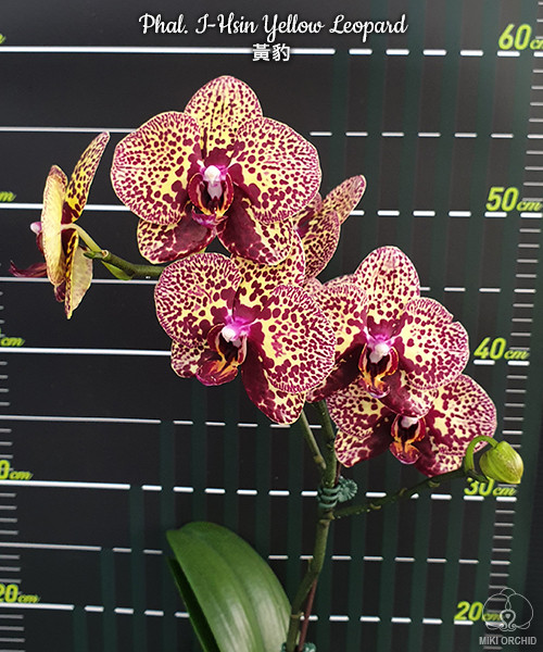 Орхідея підліток Yellow leopard, 1.7 без квітів, діаметр горщика 5 см