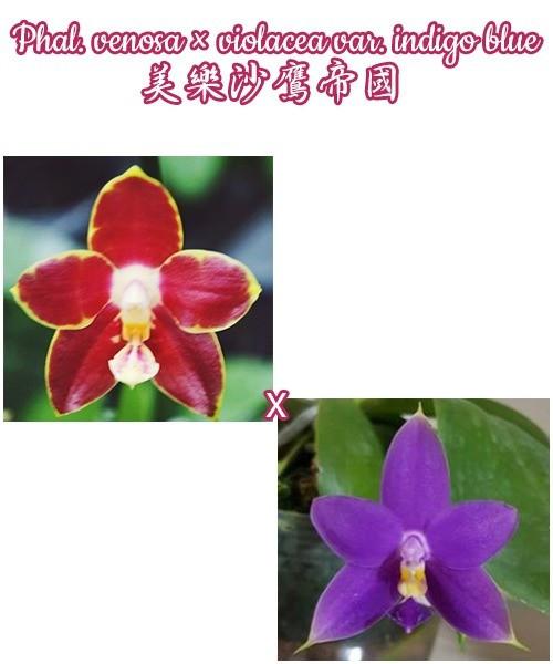 """Орхидеи с ЦВЕТОНОСОМ, без цветов. Гибрид venosa × violacea var. indigo blue  горшок 2.5"""""""
