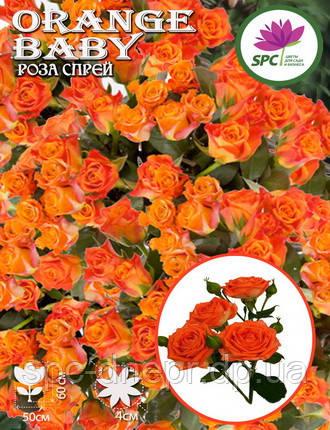 Бордюрные саженцы роз, спрей Orange Baby
