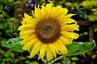 Семена подсолнечника Урбан OR7 (под гранстар) (цена договорная)