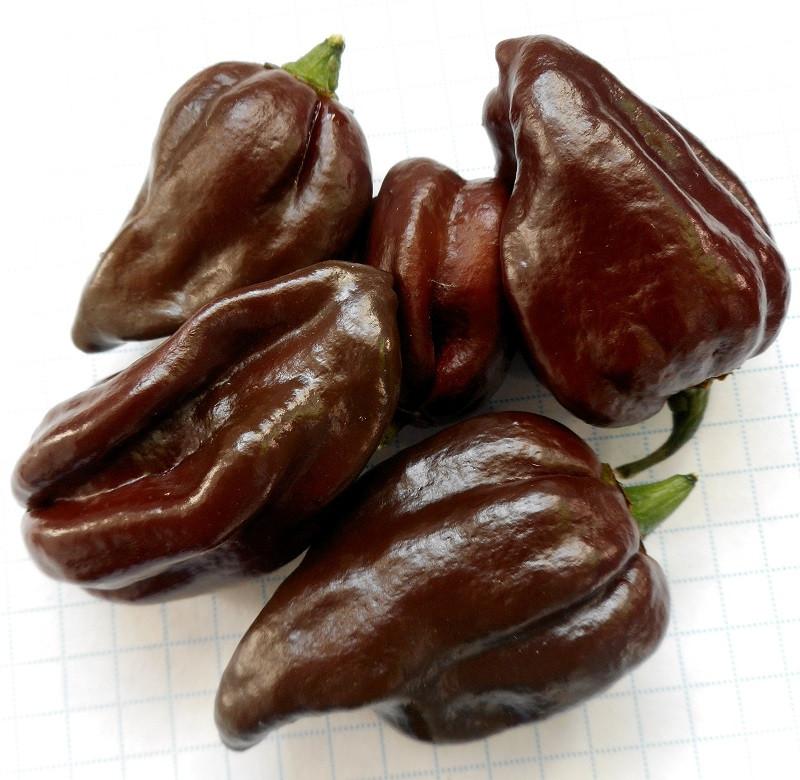Хабанеро шоколадний насіння перцю гіркого (Satimex СДБ) 8 шт