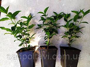 Саженцы гортензии Страбери Блосом /Strawberry Blossom/ в конт.1л, фото 3