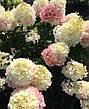 Саженцы гортензии Пинки Праймз /Living Pinki Pramise/, фото 2