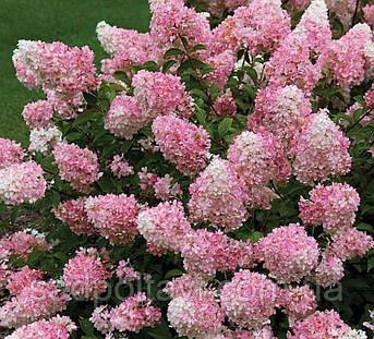 Саженцы гортензии ТАЧ ОФ ПИНК /Touch of Pink/, фото 2