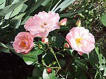 Роза Джекис Фаворит (Jacky's Favorite) Флорибунда, фото 3