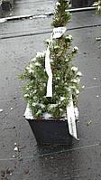 "Ель канадская Коника Спиди / Picea glauca ""Conica Speedy"" Н 20-30, С3"