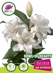 Лилия восточная махровая Bowl of Beauty