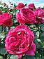 Рубон Руж / Цветелина / Эльбджувел, фото 6