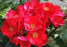 Роза Робуста (Robusta) Шраб, фото 3
