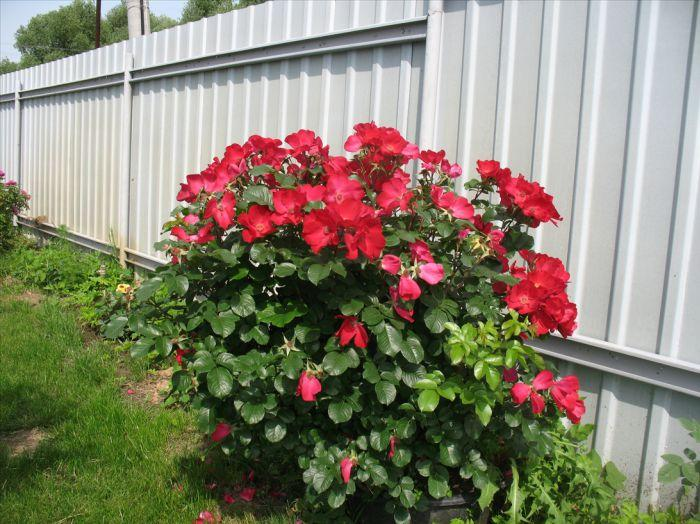 Роза Робуста (Robusta) Шраб
