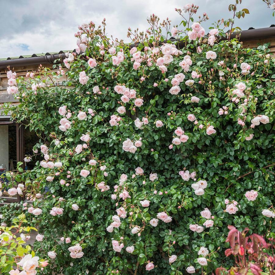 Роза Дженероуз Гарден (The Generous Gardener) Анг.