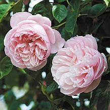 Роза Дженероуз Гарден (The Generous Gardener) Анг., фото 2