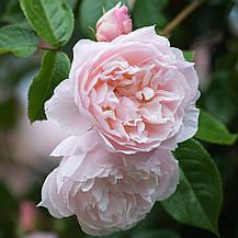 Роза Дженероуз Гарден (The Generous Gardener) Анг., фото 3
