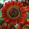 Семена Подсолнечник Красное Солнце, 1 г  Hem Genetics (Голландия)
