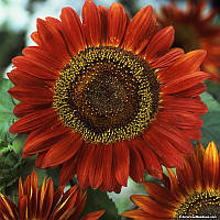 Семена Подсолнечник Красное Солнце, 1 г  Hem Genetics (Голландия), фото 1