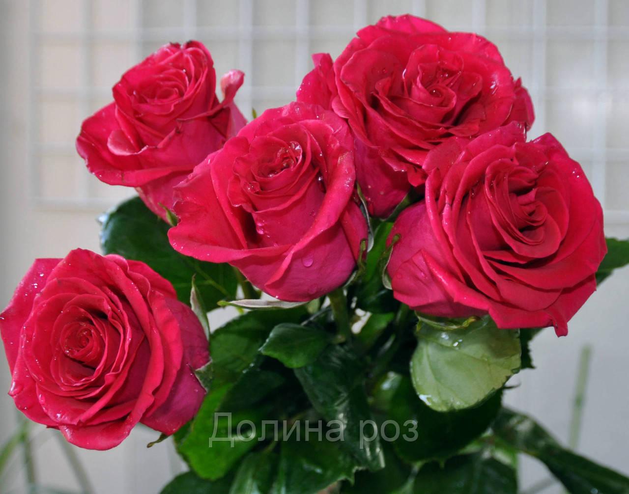 Топаз чайно-гибридная роза