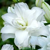 Лилия ориентальная махровая Lotus Pure (Лотус Пьюр) 1 луковица 14/16