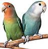Попугай Неразлучник (Клубничноголовый)
