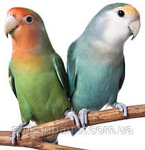 Папуга Неразлучник (Клубничноголовый)