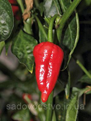 Перец Дьяболо (дьявол)