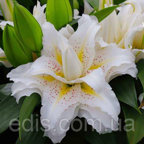 Лилия ориентальная махровая Roselily Sita (Роузлили Зита) 1 луковица 14/16, фото 2