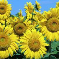 Семена подсолнечника Шенон (под гранстар) (цена договорная)