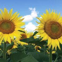 Семена подсолнечника Фолк (под Гранстар) (цена договорная)