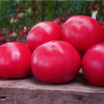 Макан F1 / Macan F1 семена томата, 250 семян — полу детерминантный, крупноплодный, розовый, ранний Clause
