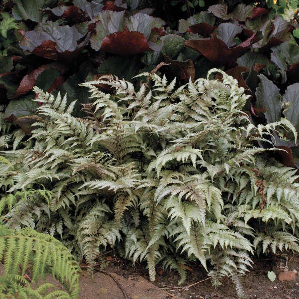 Папороть японська Pictum 1 рік, Папоротник / Кочедижник Пиктум, Athyrium niponicum Pictum