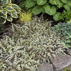 Папороть японська Pictum 1 рік, Папоротник / Кочедижник Пиктум, Athyrium niponicum Pictum, фото 2