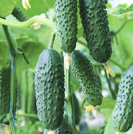 Семена огурца Седрик F1, 10 семян — партенокарпический корнишон, ранний, Enza Zaden, фото 2
