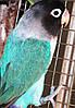 Попугаи Неразлучник-Масковый (синий)
